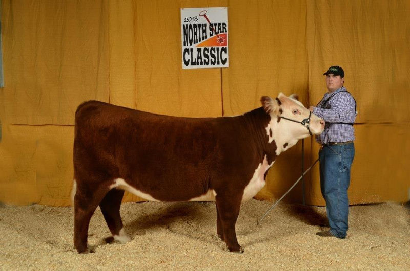 Reserve champion Hereford female - open show by Preston Cargo, Minot, ND with KCC KMK Glitz & Glamour 201 43266366. She was grand Hereford female in the Junior show.